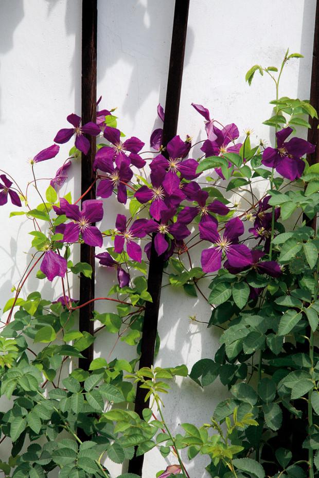 Při výběru zeleně nezapomínejte ani na popínavé kvetoucí dřeviny – mohou vám pomoci vytvořit v zahradě romantická zákoutí s dostatkem soukromí. Ideální je plamének, který však musí mít místo, odkud vyrůstá, zastíněné listy jiné rostliny.