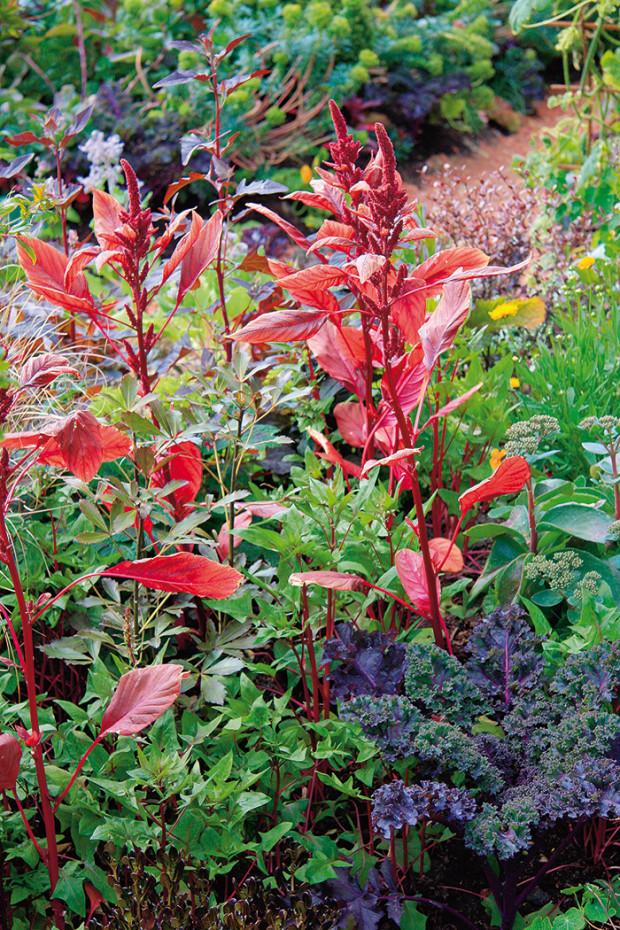 Rozmanitou zeleninu na záhonech mohou doplňovat letničky s barevnými listy, například laskavec.