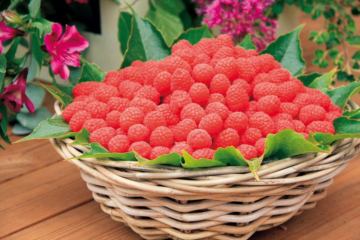 Drobné bobulové ovoce, například maliny, dopěstujete poměrně snadno a obvykle k tomu nepotřebujete ani speciální znalosti. Bohatě plodí už rok po výsadbě.