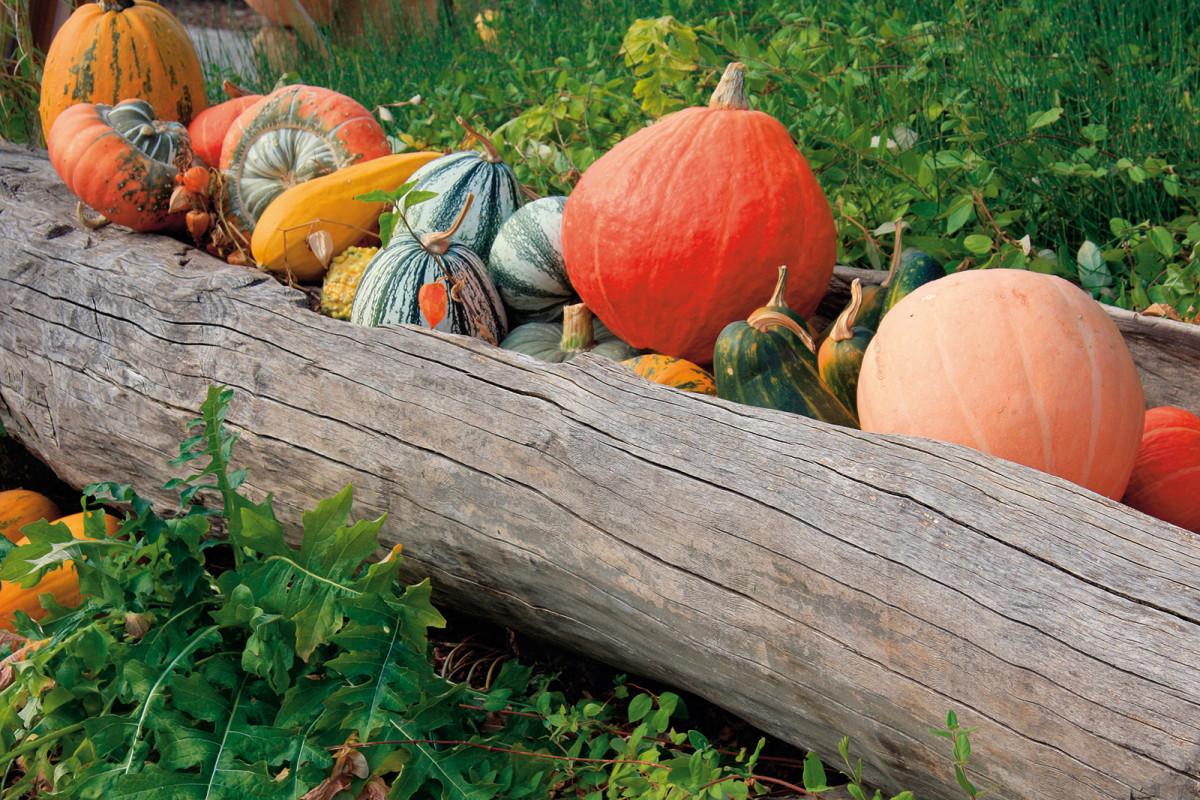 Typickou rostlinou venkova jsou tykve. Na podzim mohou zahradu ozdobit svými barevnými plody.
