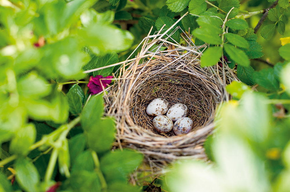 Další pomocníci do zahrady se brzy vyklubou v růžovém keři. I to je jeden aspekt přírodního zahradničení – zasadíte-li trnitý keř, chrání hnízdo před kočkami a ptáci tak mají větší šanci vychovat zdárně své potomstvo.  Foto: Jiří Tvaroh