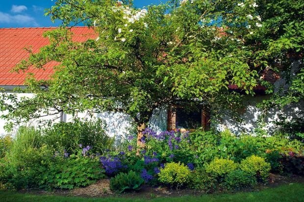 Staré ovocné stromy do venkovských zahrad jednoznačně patří. Tady se předvádí stará hrušeň, která si nechala přizdobit hlavu jednoduchou pnoucí růží a nohy obula do modrých střevíců kakostu vznešeného (Geranium magnificum). Aby nepřestřelila, doplnila vše už jen různými tóny zelené (kontryhel, hosta, zimostráz, dlužicha).