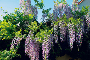 Několik tipů na použití popínavých rostlin