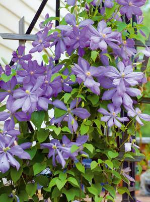 Nechte popínavé rostliny zkrášlit vaši zahradu