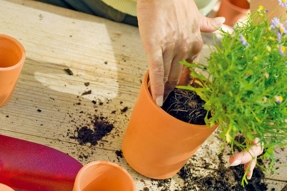 Když rostlinky nasadí první lístky a více vyrostou, je čas je přesadit. Foto: Thinkstock