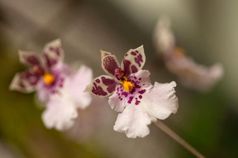 Dendrobium trankimianum Foto: archiv Botanické zahrady Praha