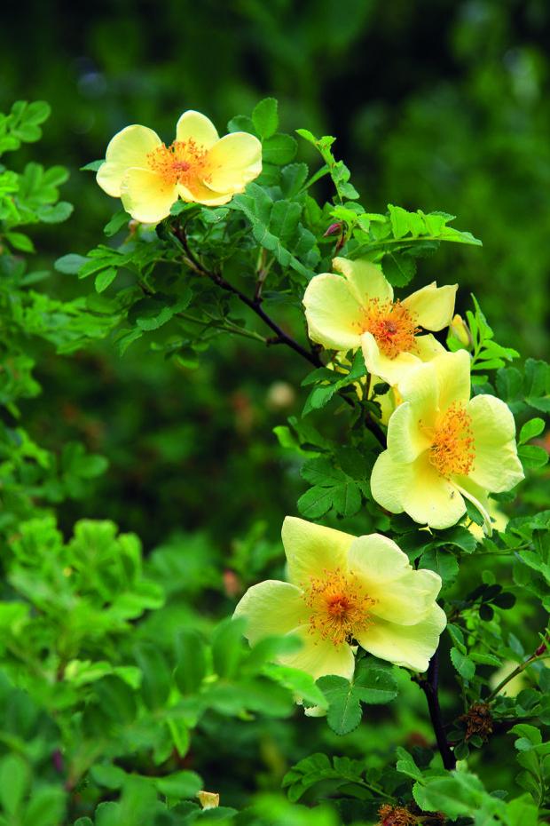 Koncem jara rozkvétá v zahradě půvabná méně častá růže Hugova (Rosa hugonis).