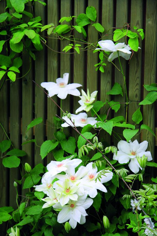 Plot zahrady během léta zdobí kvetoucí plamének.