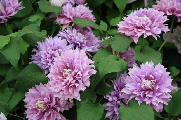 Plaménky se uplatní v městské i venkovské zahradě. Některé druhy a kultivary se dají pro své menší rozměry pěstovat i ve vegetační nádobě na balkoně či terase.