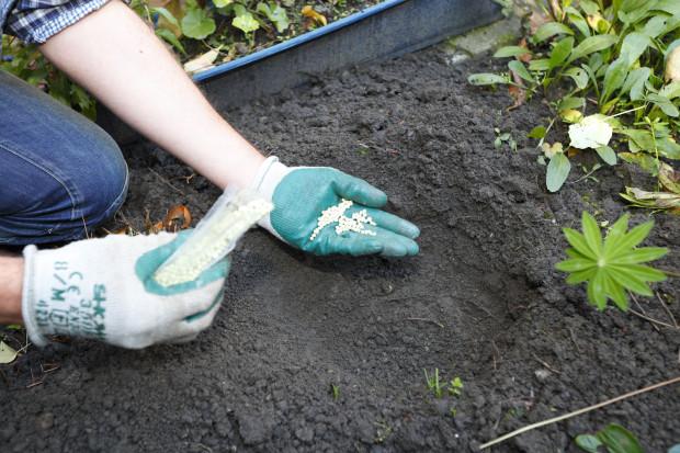Na dno jámy nasypeme trochu dlouhodobě působícího hnojiva. To zabezpečí rostoucím cibulkám dostatek živin při růstu.