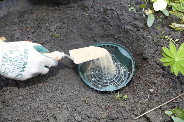Na dno košíku nasypeme hrubší písek. Použít můžeme také drobnější štěrk. Drenážní vrstva by měla být vysoká alespoň 3 cm, zabrání zahnívání cibulí.