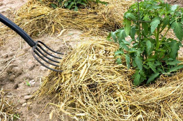 Nastýlání, například slámou, udržuje vlahu déle v půdě.  (foto: thinkstock.cz)