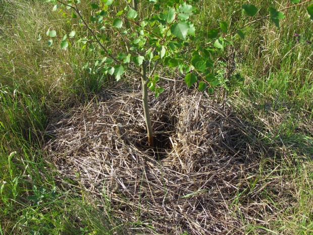 Na mulčování okolí stromků lze využít seno nebo slámu.