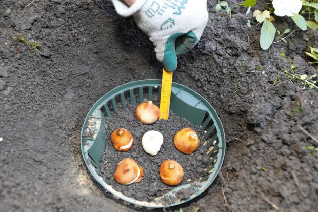 Cibule sadíme dvakrát hlouběji, než je jejich výška. Na toto nesmíme zapomenout. Pomoct si můžeme měřidlem.
