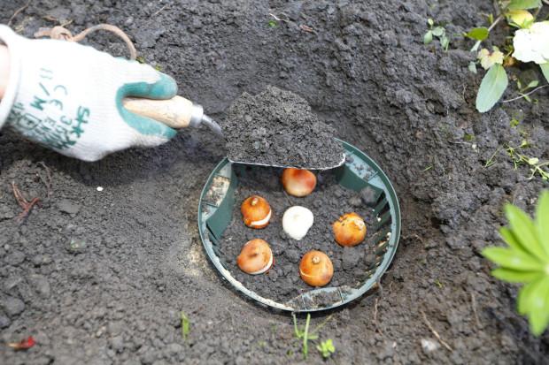 Na připravené a usazené cibule nasypeme vrstvu zahradnického substrátu nebo zeminy. Dáváme přitom pozor, abychom cibulky nepováleli.