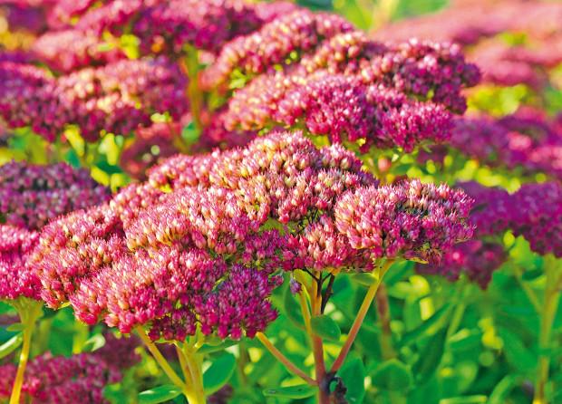 Sedum telephium nebo česky rozchodník je klasická trvalka, která kvete koncem srpna. Běžně dosahuje výšky přibližně 60 cm. Patří mezi druhy rostlin vhodné na vegetační střechy.