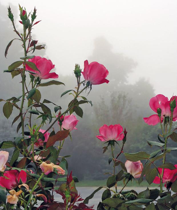 Keřovým růžím zkraťte pouze vršky astaré dřevo. Čím méně je na podzim stříháte, tím méně budou vzimě choulostivé. FOTO THINKSTOCK