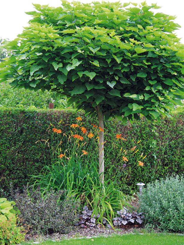 Listnaté okrasné stromy, ity chtěli mít majitelé ve svézahradě. Vexteriéru tak najdete iněkolik druhů skompaktní kulovitou korunkou – katalpu (Catalpa bignonioides 'Nana') na obrázku, okrasnou jabloň ataké okrasnou švestku snádherným vínově červeným olistěním. FOTO DANIEL KOŠŤÁL