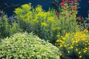 Zahrada během roku opravdu hýří pestrými barvami. Vtéto části trvalkového záhonu najdete hezky zkombinované krásnoočko (Coreopsis verticilata), zavinutku, zlatobýl ašalvěj (Salvia officinalis 'Icterina'). FOTO DANIEL KOŠŤÁL