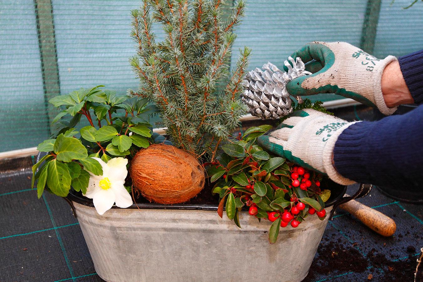 Pokud chcete ještě více zdůraznit zimní charakter výsadby, umístěte do ní vhodný doplněk. Ideální jsou přírodniny, například kokosový ořech.