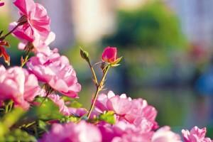 Rozvoňte si zahradu růžemi