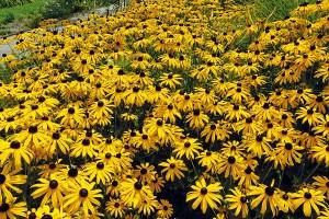 Hra barev. Žluté třapatky zářivé, krásnoočka přeslenitá nebo řebříček tužebníkovitý dodávají dobrou náladu aenergii. Uklidňující atmosférou oplývají naopak trvalky ve studených barvách (levandule úzkolistá, len vytrvalý, aromatická agastache). FOTO LUCIE PEUKERTOVÁ