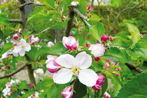 Výběr rostlin a tvorba osazovacího plánu jsou při plánování třešničkou na dortu. Ještě před první konzultací se zahradním architektem si poznamenejte oblíbené druhy. Některé rostliny se mohou stát hlavním tématem zahrady. Aktuálně jsou v oblibě třeba krajové odrůdy ovocných dřevin. FOTO LUCIE PEUKERTOVÁ
