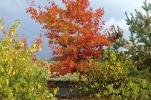Efekt podzimního zbarvení nepodceňujte. Ačkoliv se to sbarvami nemá vzahradě přehánět, pro podzimní období to příliš neplatí. Tyto barevné opadavé krasavce kombinujte se stálezelenými dřevinami, které oceníte především vzimě. FOTO LUCIE PEUKERTOVÁ
