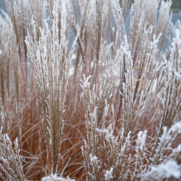 Málokterá rostlina připraví tolik podívané jako okrasné trávy během celého roku. Na jaře potěší svěže zelenými čerstvými listy, v létě rozkvetou, na podzim změní barvu a v zimě se převlečou za ledovou královnu. FOTO LUCIE PEUKERTOVÁ