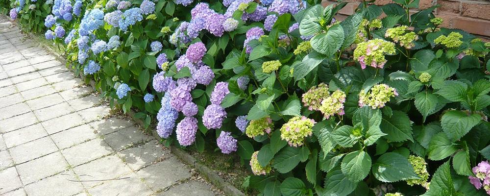 Nevšedně krásné hortenzie a jejich pěstování