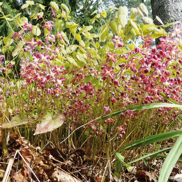 Půdopokryvná trvalka sjemnou texturou, krásnými drobnými květy azajímavými listy − taková je nenáročná škornice (Epimedium sp.). Vsuchých podrostech se dokonce uplatňuje jako náhrada trávníku. Je dostupná vmnoha druzích abarevných kultivarech. FOTO LUCIE PEUKERTOVÁ