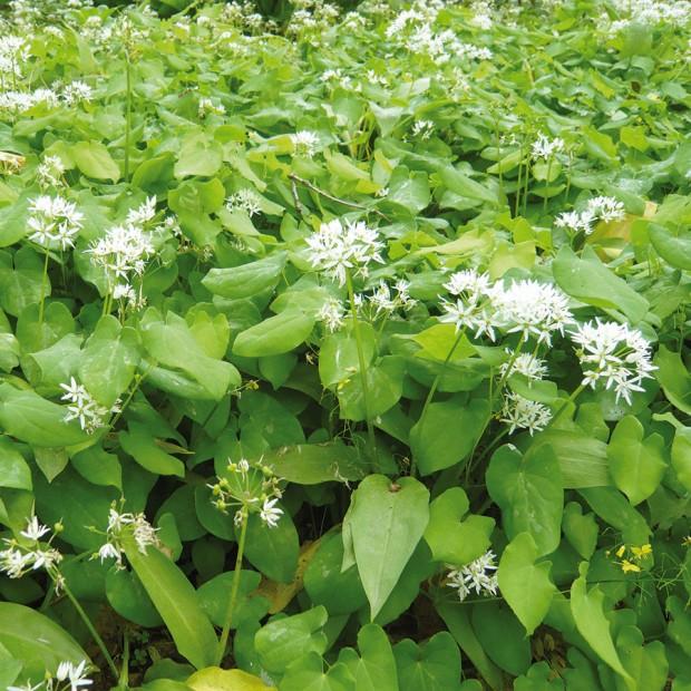 Květnaté podrosty pod vzrostlými stromy nemusí být pouze okrasné. Česnek medvědí (Allium ursinum) je důkazem, že ikrásné rostliny nenáročné na světlo se dají využít vkuchyni. Zvýrazně vonících listů si můžete připravit pomazánku nebo je přidat do polévky.