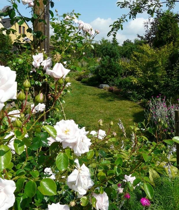 Růže patří do každé anglické či Anglií inspirované zahrady. Mezi oblíbené triky anglických architektů patří osvědčené kombinace trvalek a růží, stejně tak vděčné je sousedství královny květin s pnoucími plaménky. FOTO: LUCIE PEUKERTOVÁ