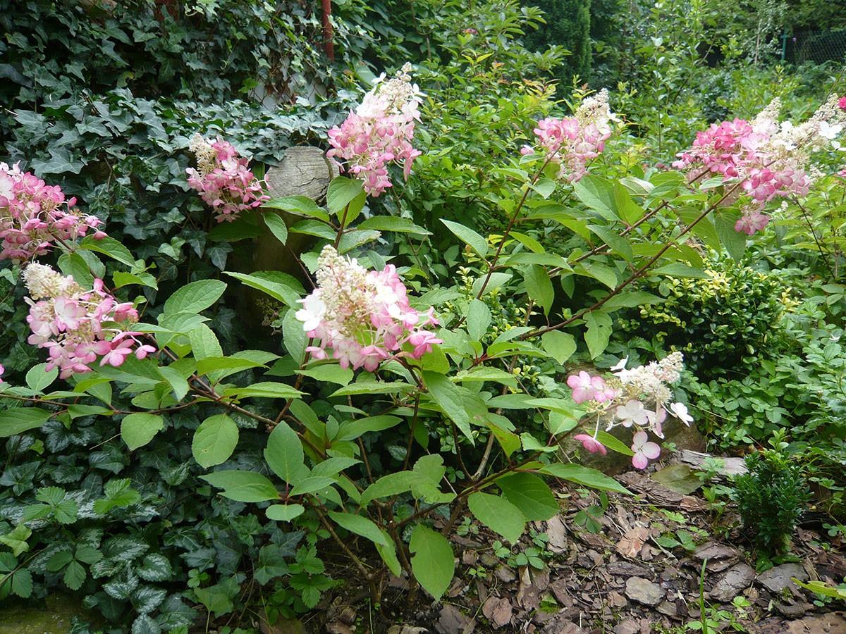 Hydrangea paniculata po změně barvy květů. FOTO: LUCIE PEUKERTOVÁ