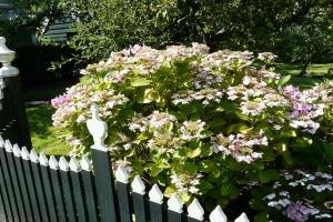 Hydrangea macrophylla ´Mariesii Perfecta´. FOTO: LUCIE PEUKERTOVÁ