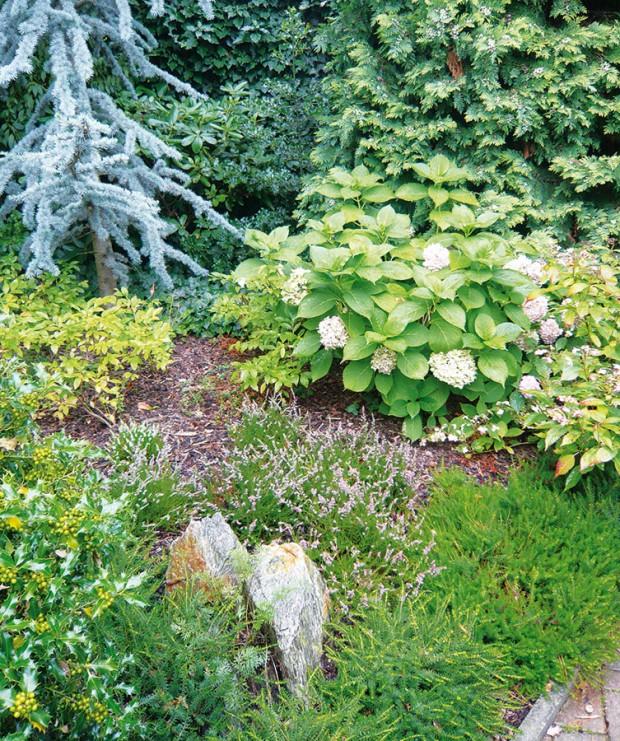 Podrost jehličnanů se vyznačuje kyselým opadem, který vyhovuje jen některým rostlinám. Mezi ně patří třeba hortenzie. Na výběr máte například hortenzii velkolistou (Hydrangea macrophylla), hortenzii stromečkovitou (H. arborescens) nebo hortenzii latnatou (H. paniculata).