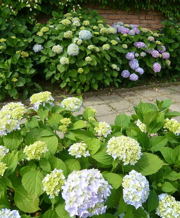 Hortenzii můžete pěstovat v široké barevné škále, nejtypičtější jsou však pro ni modré tóny. FOTO: LUCIE PEUKERTOVÁ