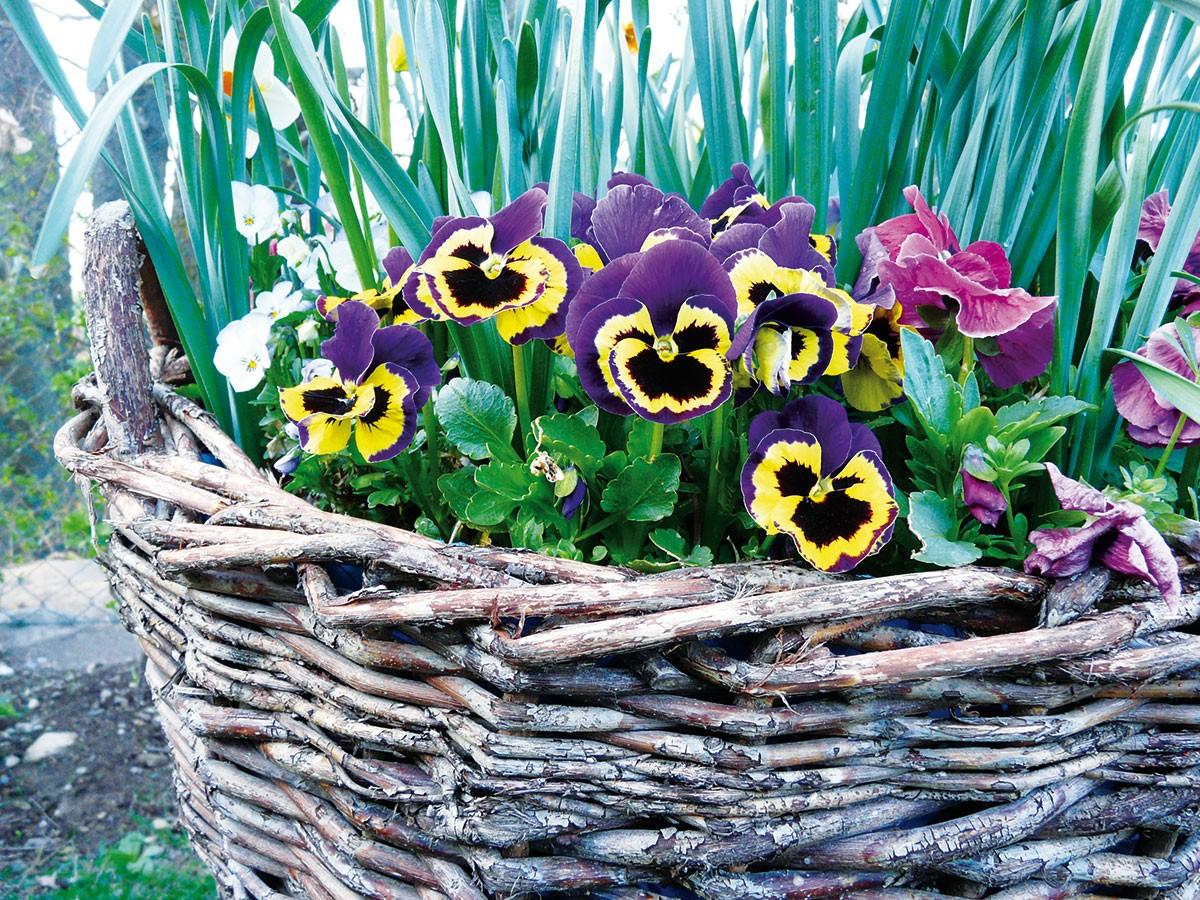 Dvouletou macešku si nejčastěji spojujeme se sortimentem rostlin do nádob a ornamentálních výsadeb. Jen málokdo ovšem ví, že se křehké květy perfektně hodí na zdobení moučníků i jiných pokrmů.