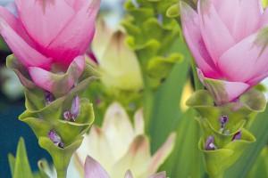 Vnabídce květinářství se vposledních letech objevuje krásná mohutně rostoucí pokojová rostlina sexotickým vzhledem. Jde okurkumu (Curcuma alismatifolia). FOTO DANIEL KOŠTÁL