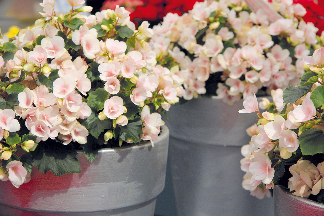 Begonie (Begonia elatior) se díky svým krásným květům těší velké oblibě vmoderním ivenkovském interiéru.