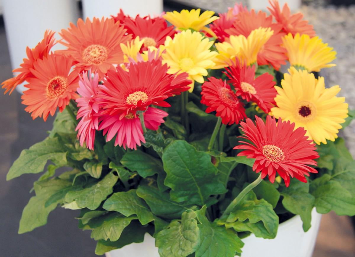 Kvetoucí pokojové gerbery (Gerbera jamesonii) patří knejúčinnějším čističům vzduchu vdomácnostech ajsou vhodné ina terapii barvami.