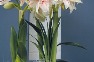 Kvetoucí hvězdníky (Hippeastrum hybrid) vnesou do vašeho domova dynamiku, ato hlavně vpřípadě, že si zvolíte červeně kvetoucí kultivary.