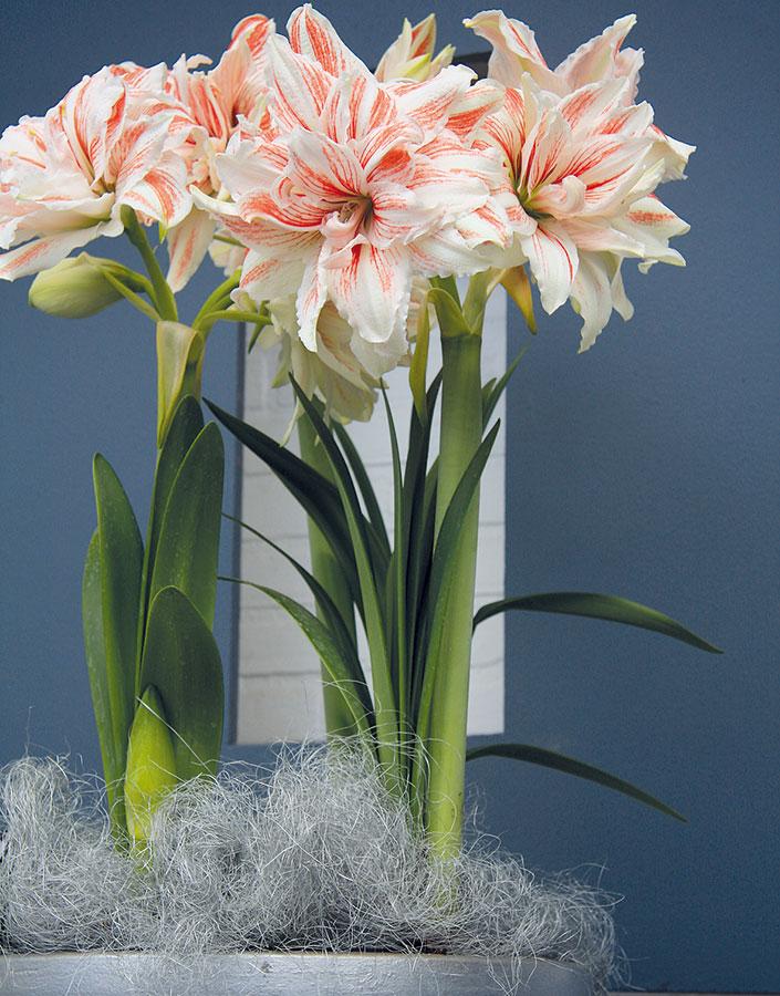 Kvetoucí hvězdníky (Hippeastrum hybrid) vnesou do vašeho domova dynamiku, ato hlavně vpřípadě, že si zvolíte červeně kvetoucí kultivary. FOTO DANIEL KOŠTÁL