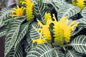 Afelandra (Aphelandra squarrosa) je mohutně působící rostlina, která okouzlí hezkými květy iozdobnými listy.