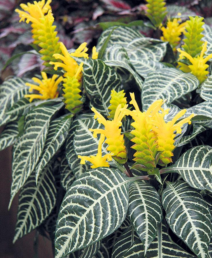 Afelandra (Aphelandra squarrosa) je mohutně působící rostlina, která okouzlí hezkými květy iozdobnými listy.  FOTO DANIEL KOŠTÁL