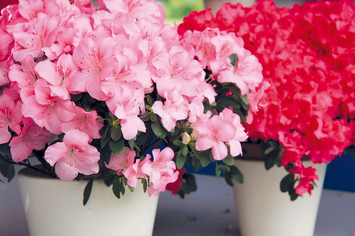 Azalka (Rhododendron simsii) pochází zvlhkých lesů Japonska aČíny aunás už se zabydlela.