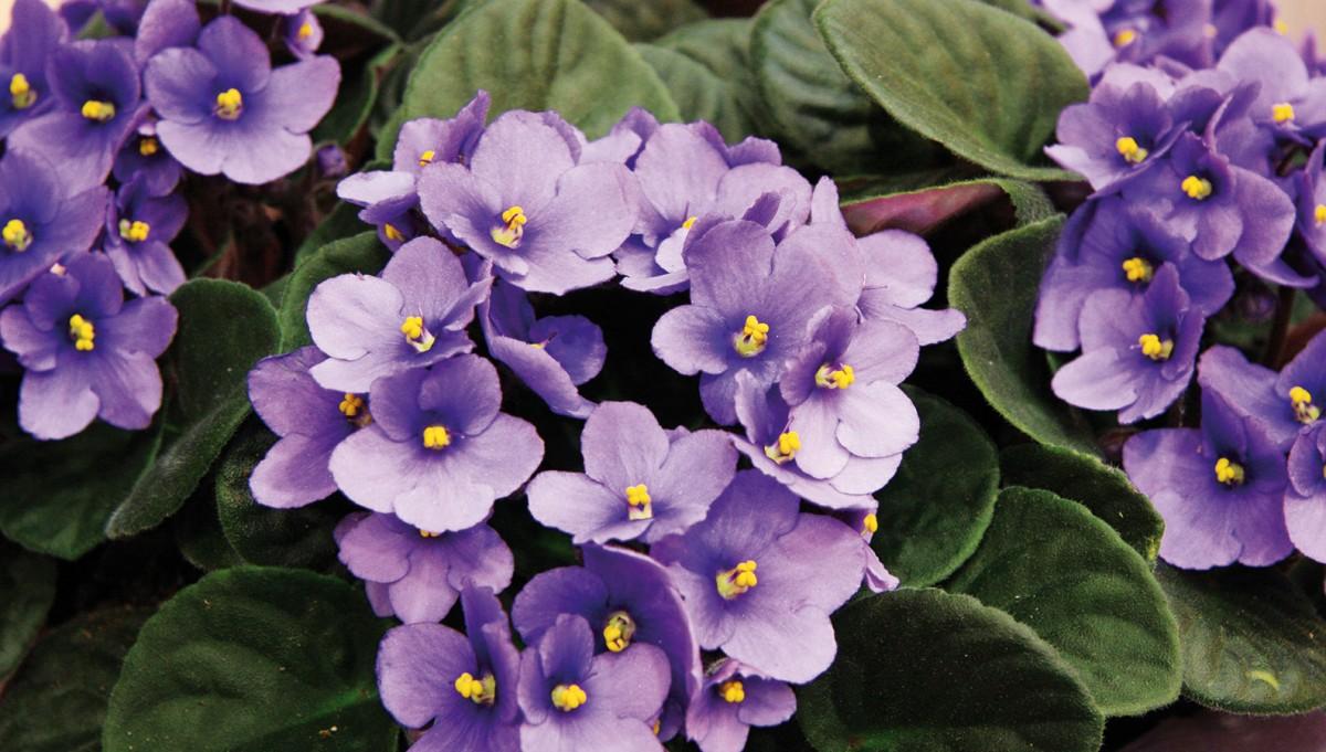 Africké fialky (Saintpaulia ionantha) jsou oblíbené kvetoucí pokojové rostliny.