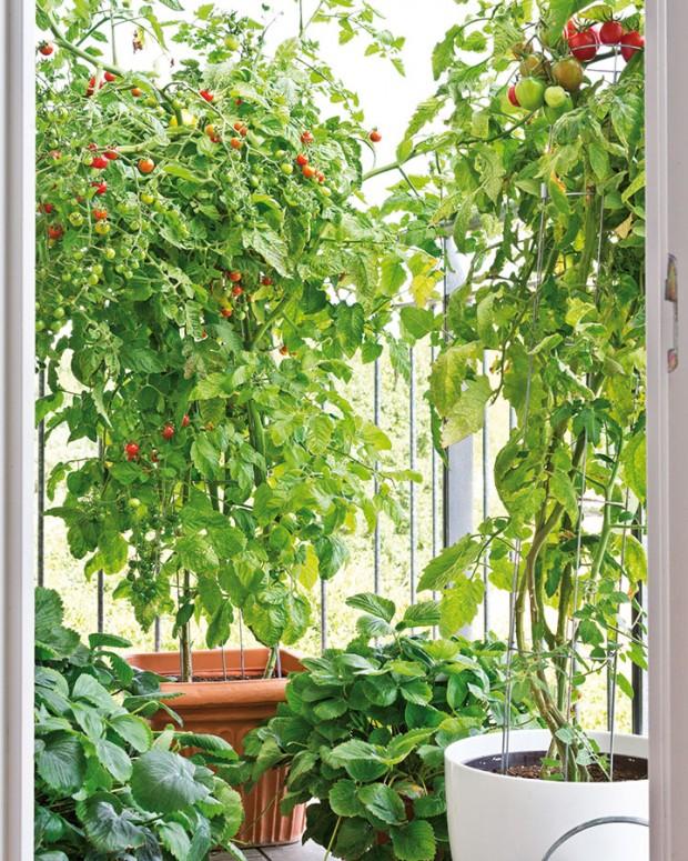 Rajčata ajahody jako vděčné balkonové rostliny. Nevěříte? Keříková rajčata nebo převislé jahody jsou ideální odrůdy pro pěstování na malém prostoru. Navíc zrovna tyto druhy donesené zběžného supermarketu většinou chutnají nevalně, takže svou vlastní produkci brzy doceníte. FOTO ISIFA/SHUTTERSTOCK