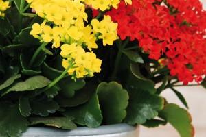 Kalanchoe se sytě barevnými květy je velmi nenáročná rostlina, kterou najdete v nabídce po celý rok. FOTO DANIEL KOŠŤÁL