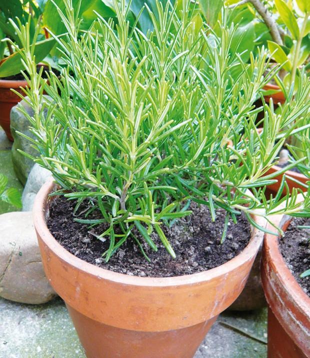 Po ruce. Některé bylinky se dají poměrně úspěšně pěstovat ivnádobách na terase nebo okenním parapetu. Terakotové květináče svědčí například rozmarýnu lékařskému. Na zimu ho přeneste do světlé achladné, nevytápěné místnosti. FOTO LUCIE PEUKERTOVÁ